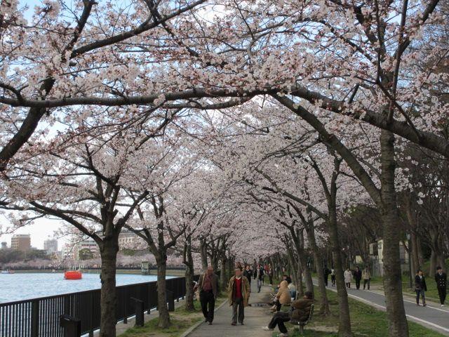 毛馬桜之宮公園 桜並木