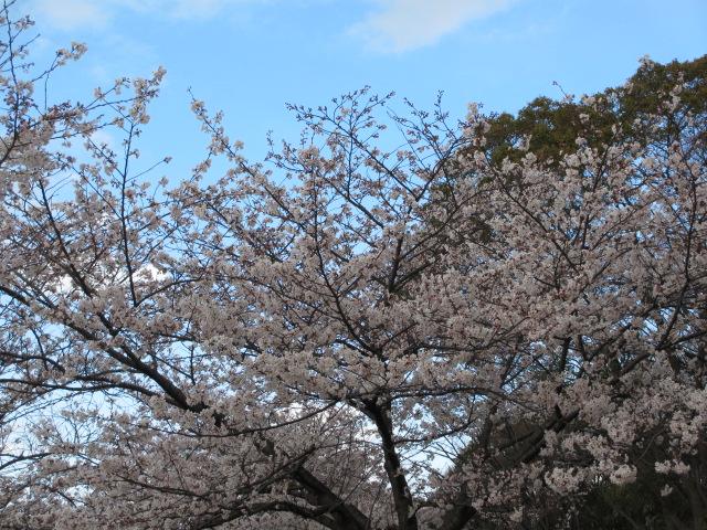 毛馬桜之宮公園 「青空と桜」