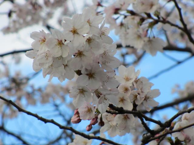 毛馬桜之宮公園 「青空と桜」2