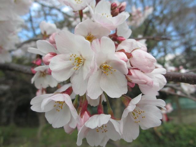 毛馬桜之宮公園 「青空と桜」4