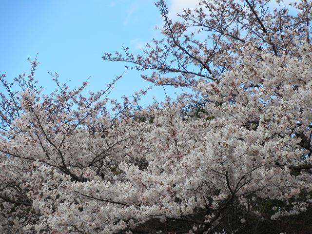 毛馬桜之宮公園 「青空と桜」5