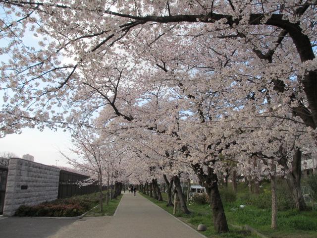 毛馬桜之宮公園 桜並木2