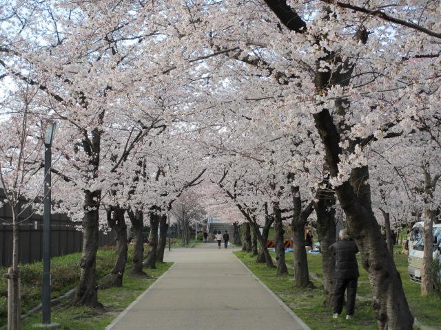 毛馬桜之宮公園 桜並木3
