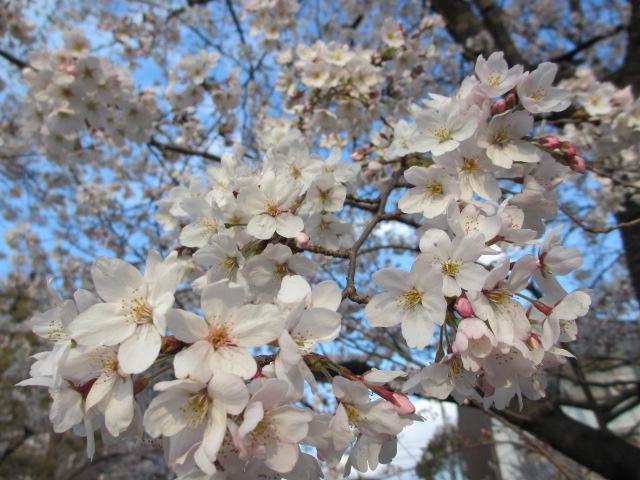 毛馬桜之宮公園 「青空と桜」6