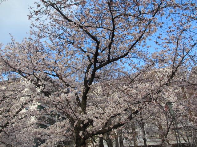 毛馬桜之宮公園 「青空と桜」7