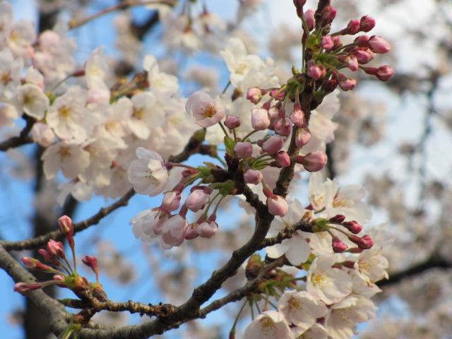 毛馬桜之宮公園 「青空と桜」8