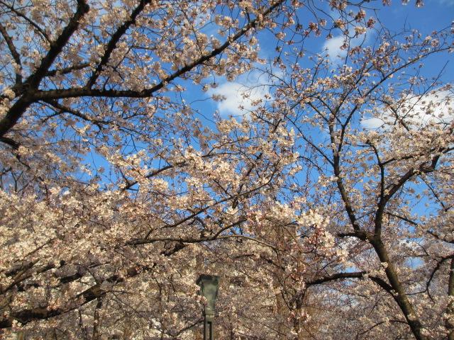 毛馬桜之宮公園 「青空と桜」9