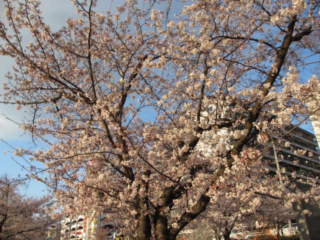 毛馬桜之宮公園 「青空と桜」10