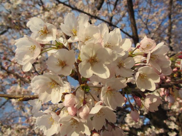 毛馬桜之宮公園 「青空と桜」11