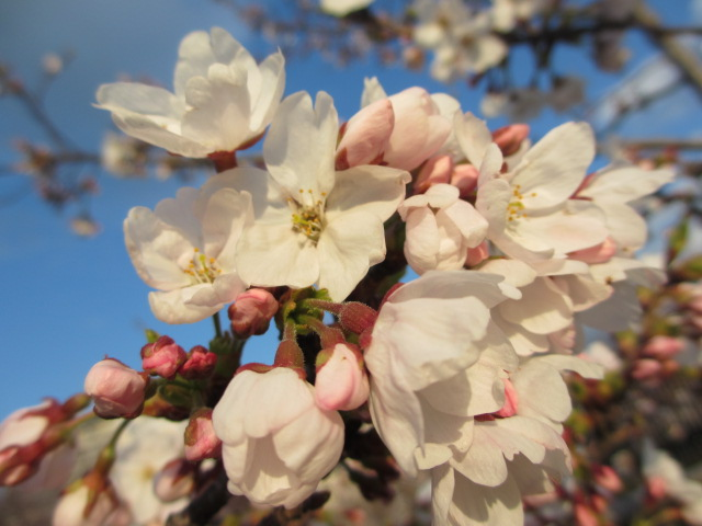 毛馬桜之宮公園 「青空と桜」12