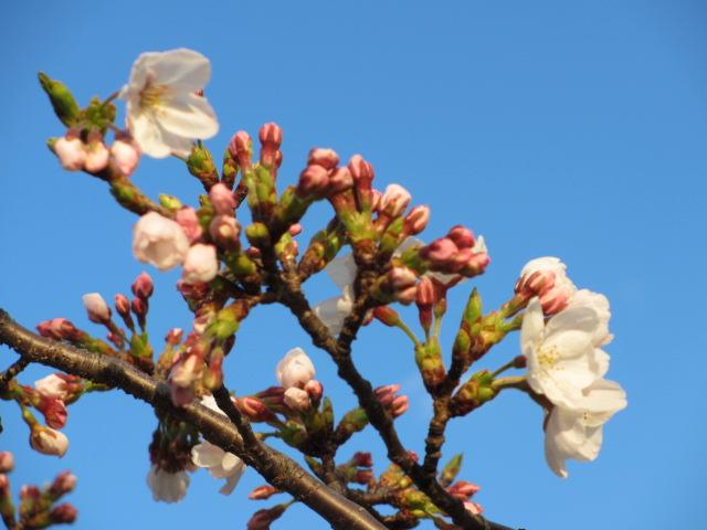 毛馬桜之宮公園 「青空と桜」13