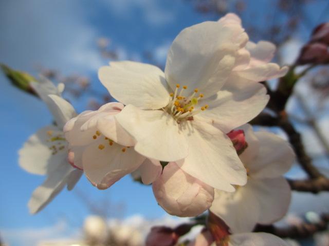 毛馬桜之宮公園 「青空と桜」14