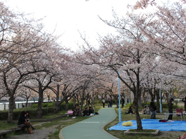 毛馬桜之宮公園 桜並木4