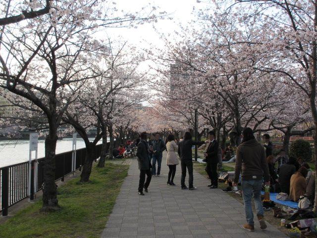 毛馬桜之宮公園 桜並木5