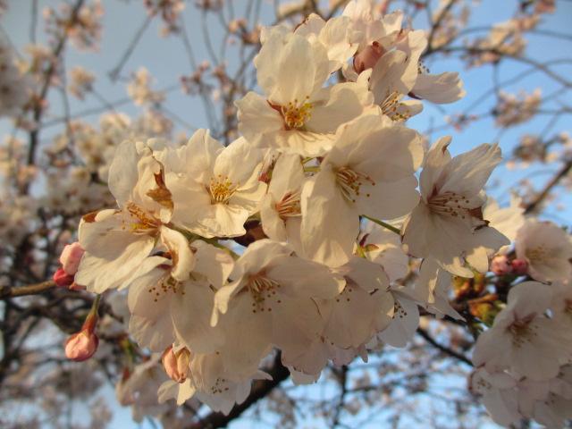毛馬桜之宮公園 「青空と桜」15