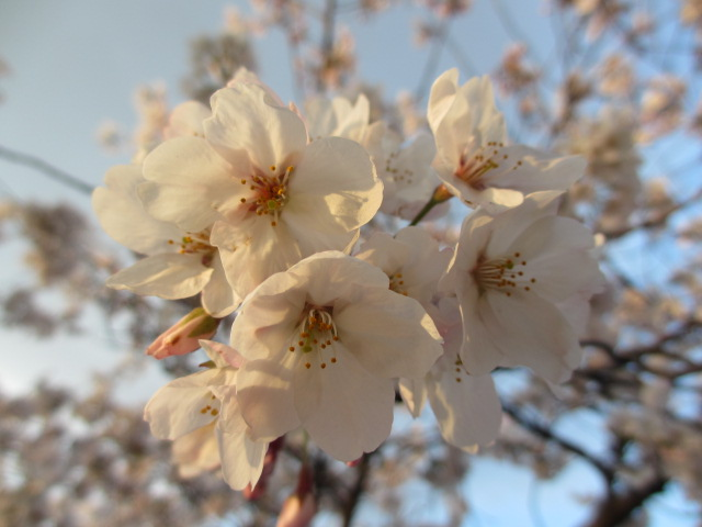 毛馬桜之宮公園 「青空と桜」16