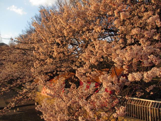 毛馬桜之宮公園 「夕日と桜」