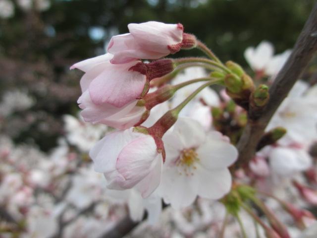 毛馬桜之宮公園 源八橋からの景色4