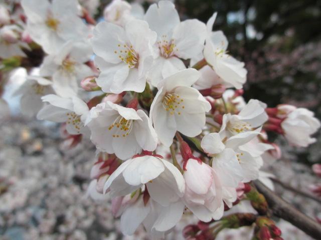 毛馬桜之宮公園 源八橋からの景色5