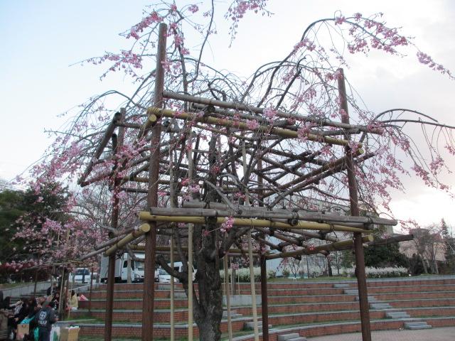 毛馬桜之宮公園 枝垂れ桜