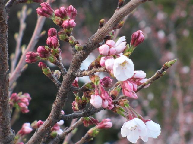 毛馬桜之宮公園 桜つぼみ