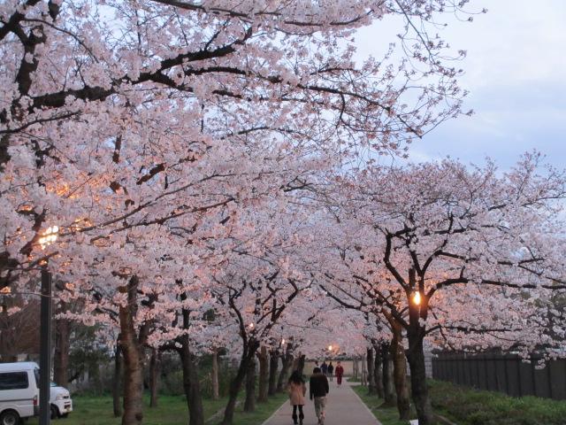 毛馬桜之宮公園 桜並木6