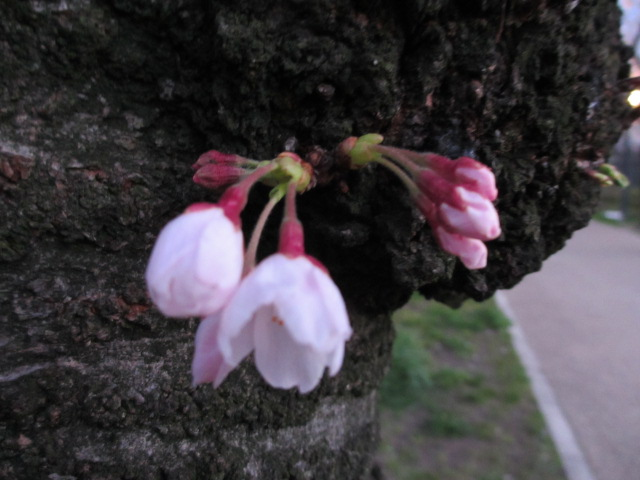 毛馬桜之宮公園 幹から桜2