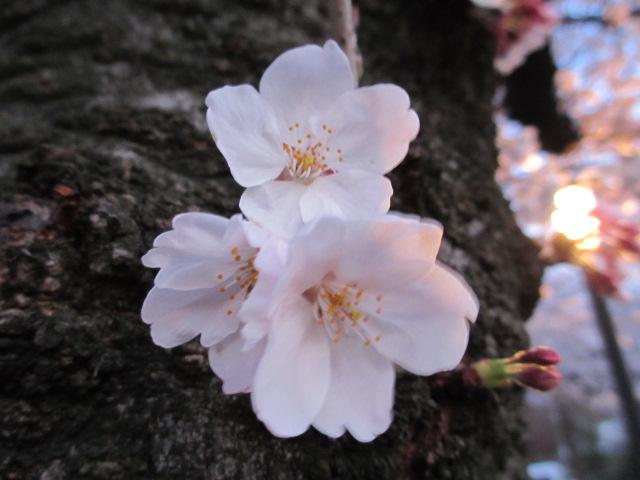 毛馬桜之宮公園 幹から桜
