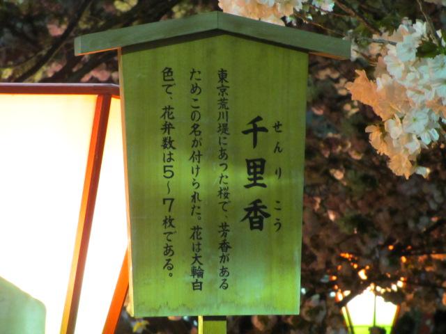 造幣局の桜の通り抜け「千里香」