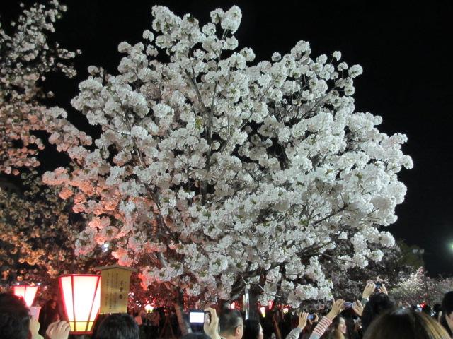 造幣局の桜の通り抜け「千里香」2
