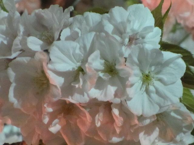造幣局の桜の通り抜け「千里香」3
