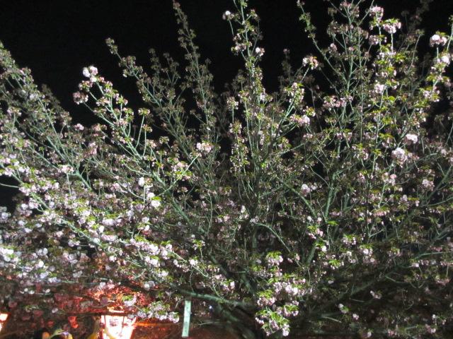 造幣局の桜の通り抜け「関山」2