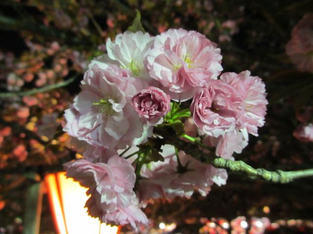 造幣局の桜の通り抜け「関山」3