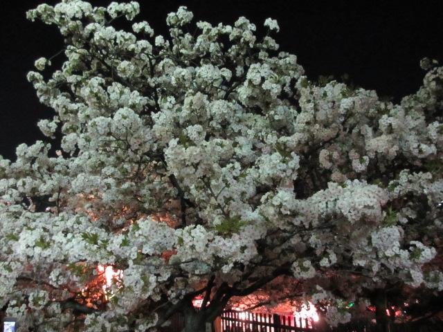 造幣局の桜の通り抜け「法明寺」2