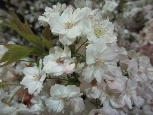 造幣局の桜の通り抜け「法明寺」3
