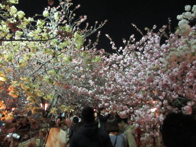 造幣局の桜の通り抜け4