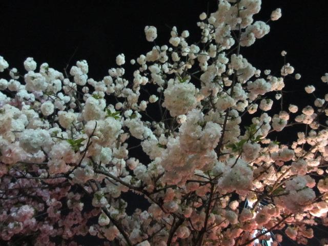 造幣局の桜の通り抜け「蘭蘭」2