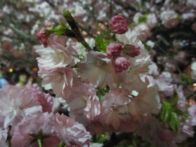 造幣局の桜の通り抜け「紅虎の尾」4