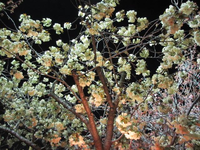 造幣局の桜の通り抜け「欝金」2