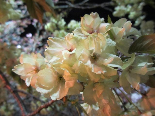 造幣局の桜の通り抜け「欝金」3