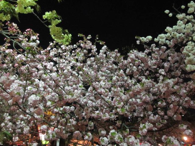 造幣局の桜の通り抜け「紅虎の尾」2