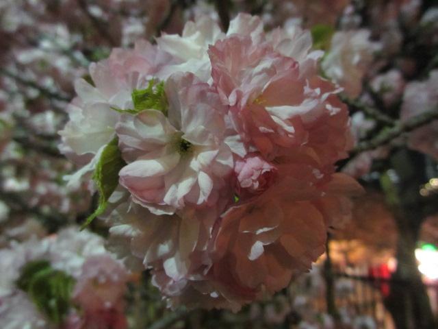 造幣局の桜の通り抜け「紅虎の尾」3