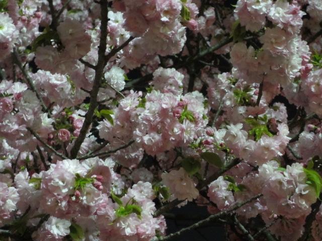 造幣局の桜の通り抜け「紅虎の尾」5