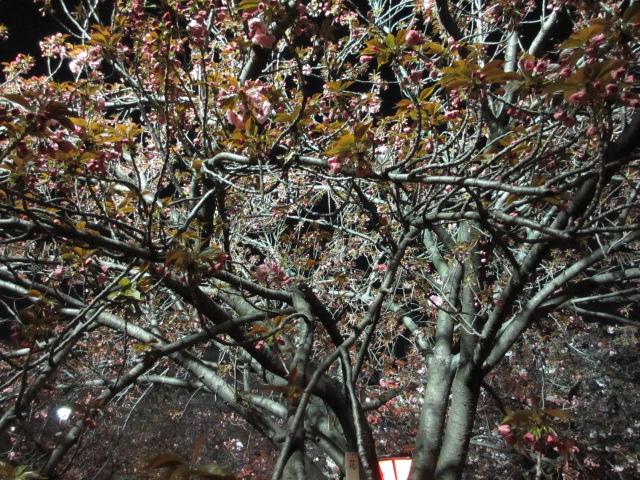 造幣局の桜の通り抜け「花笠」2
