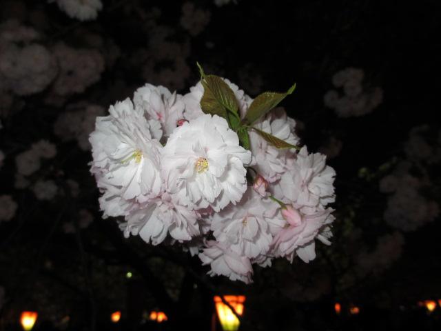 造幣局の桜の通り抜け「一葉」3