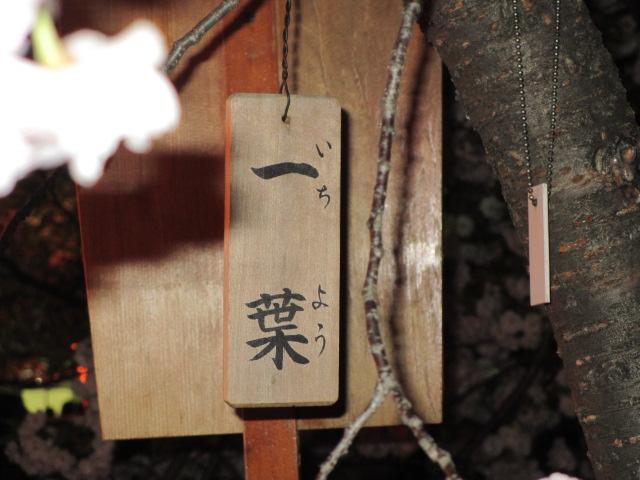 造幣局の桜の通り抜け「一葉」