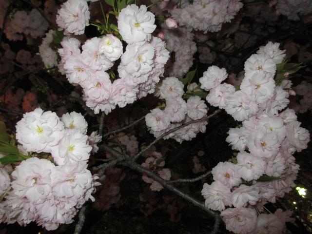 造幣局の桜の通り抜け「一葉」2