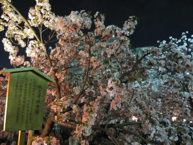 造幣局の桜の通り抜け「祇王寺祇女桜」2