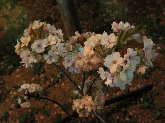 造幣局の桜の通り抜け「祇王寺祇女桜」3