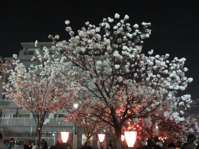 造幣局の桜の通り抜け「八重曙」2